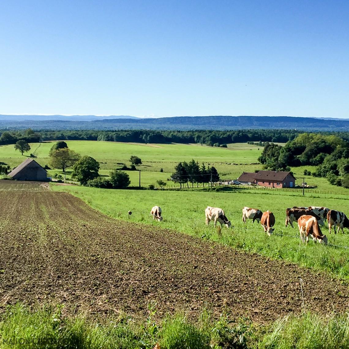 Transforming Milk into Comté Cheese