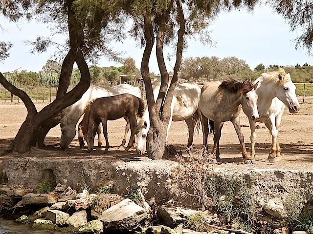 camargue-ponies