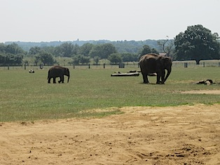 elephants-whipsnade