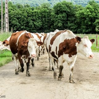 The Cows Who Keep the Wheels of Comté Cheese Turning