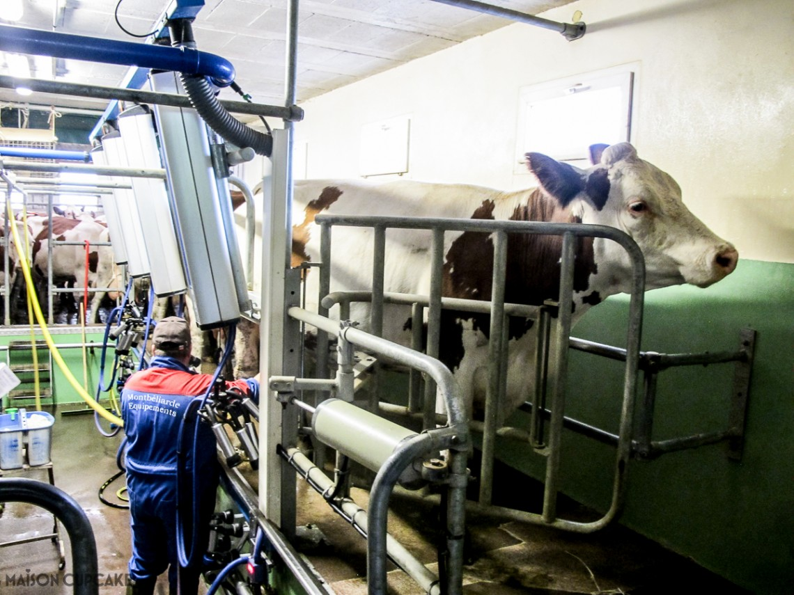Milking the cows whose milk makes Comte cheese